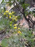 バルコニーから外を見下ろすとミモザの木が。